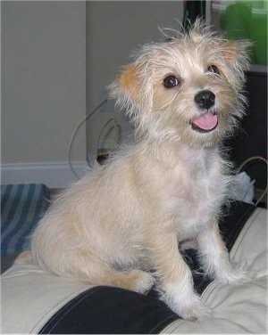 A wiry-looking tan with white Malti-Pin dog is sitting on a tan and black ottoman. Its mouth is open and tongue is out.