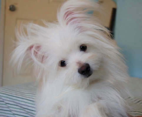 Head shot - A longhaired white Maltipom is laying on a bed and its head is tilted to the left.