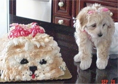 A Malti-poo puppy with a pink ribbon on its head is standing on a black table next to a birthday cake that looks just like the pup. .