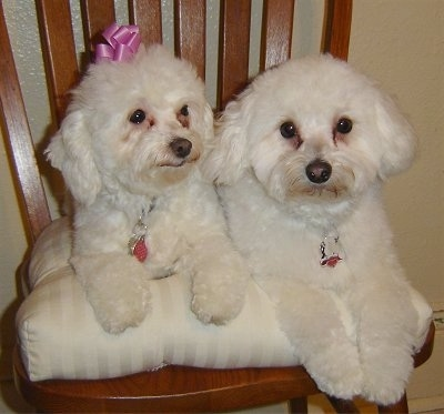 Two tan Malti-poo are laying side by side on a brown wooden chair on top of a white pillow cushion. The dog on the left has a pink ribbon on its head.