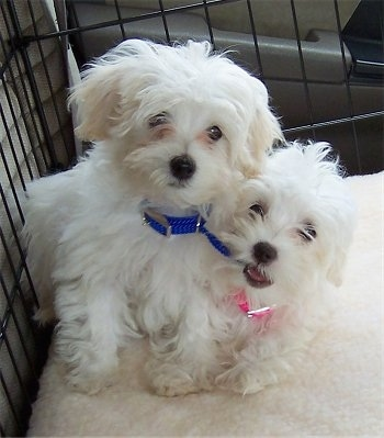 Two white Malti-poo dogs are laying next to each other in a cage in the backseat of a vehicle. The dog on the right is wearing a hot pink collar and is chewing on the blue collar of the dog next to it.