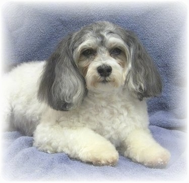 Front-side view - A white with grey Malti-poo is laying on top of a gray-blue blanket. It has long fluffy hair on its ears.