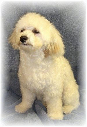 Lucas, the adult Malti-poo - Photo Courtesy of POOS-4-U