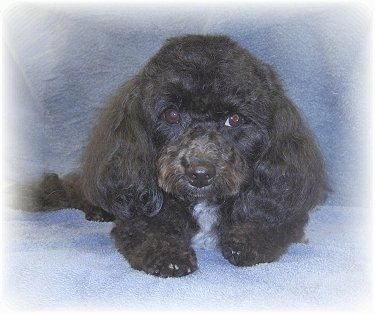 Front view - A long-eared wavy-coated, black with white Malti-poo is laying on top of a gray-blue blanket.