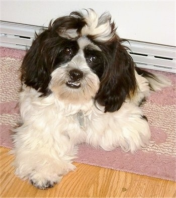 View from the front - A longhaired fluffy black and white Mauzer dog is laying on a pink and white throw rug on top of a hardwood floor with a baseboard heater behind it. The dog's bottom teeth are showing from its underbite.