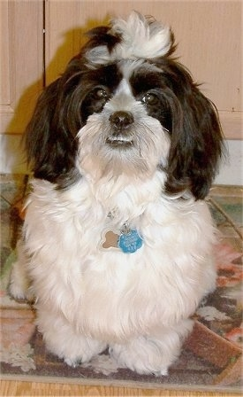 View from the front - A longhaired black and white Mauzer is standing on a throw rug in front of a wooden cabinet.