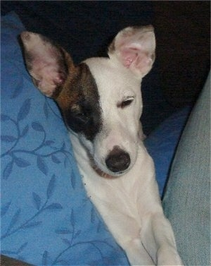 A white with brown and black Miniature Fox Terrier puppy is laying next to a person with a blue blanket on a gray couch.
