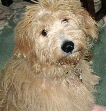 Otis the F1 Mini Goldendoodle at 5 months old (Golden Retriever mother