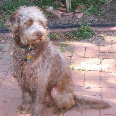 A wavy-coated brown Labradoodle is sitting on a brick sidewalk looking to the right.
