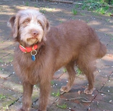 Front side view - A brown Labradoodle is standing on a brick sidewalk and it is looking up and to the right.