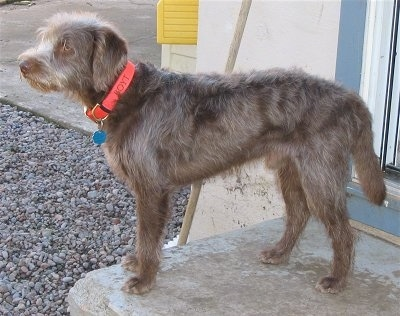 Side view - A brown Labradoodle is standing on a concrete step and it is looking to the left.
