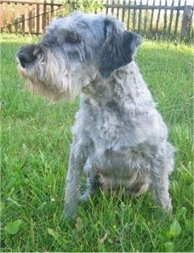 Beautyna, the Mini Schnauzer