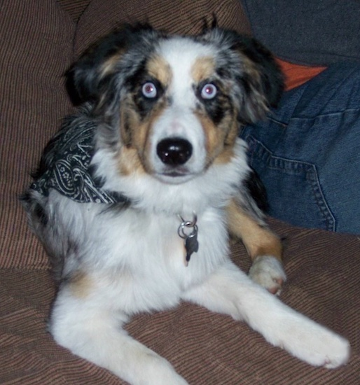 A blue-eyed, merle white and grey with tan and black Miniature Australian Shepherd puppy is laying on a brown couch next to a person in blue jeans.
