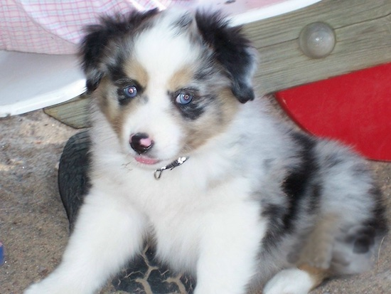Jinxy, the Miniature Australian Shepherd puppy at 7 weeks old