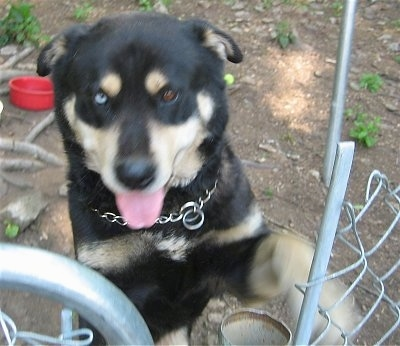 A rose-eared, black with tan Husky/Rottweiler/Labrador mix is jumped up at a chain link fence and gate. Its mouth is open and tongue is out and it has two different colored eyes. One eye is blue and the other eye is brown. There is a red plastic bowl in the yard behind it.