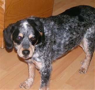 Side view from above - A black with tan and white merle Cocker Spaniel/Blue Heeler is standing on a hardwood floor looking to the right.