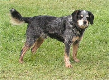 Side view - A black with tan and white Cocker Spaniel/Blue Heeler is standing in grass and it is looking towards the camera.