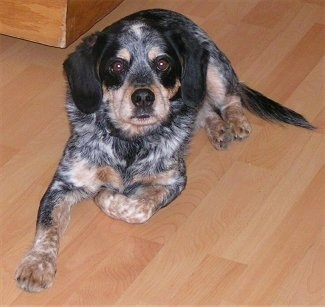 Front view - A drop-eared, black with tan and white merle Cocker Spaniel/Blue Heeler is laying on a hardwood floor looking up.