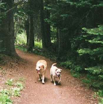 Two panting dogs walking side by side down a dirt wooded path of evergreen trees - A tan with black Labrador mix and a tan with white Aussie/Golden Retriever.