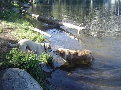 A tan with black Labrador mix is standing in front of a body of water that a tan with white Aussie/Golden Retriever is standing in. The dogs are nose to nose. There is a dead fallen tree on the bank extending into the water behind them.