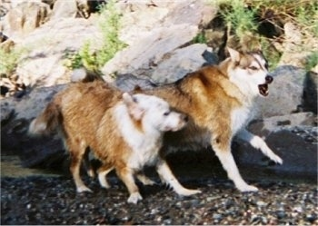 A brown with white Aussie/Golden Retriever and a brown with white wolf/Husky/Malamute mix are running across the gravel next to a body of water with large boulder-sized rocks on shore. They are actively playing.