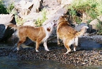 A brown with white Aussie/Golden Retriever and a brown with white wolf/Husky/Malamute mix are shaking dry next to a body of water. One dog looks like it is about to bite the other in play.