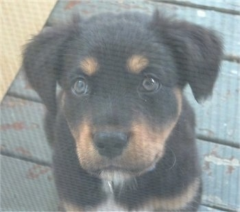 Close up head shot - A black with tan and white Rottweiler mix puppy is sitting on a painted green wooden porch looking up.
