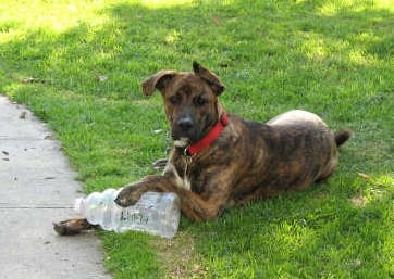 The left side of a brown brindle with white Box Heeler that is laying across grass. It has its right paw on a large empty bottle and it is looking forward.