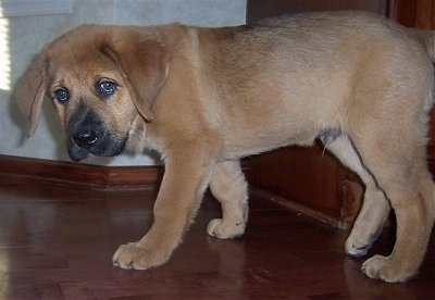A droopy-looking, tan Mountain Mastiff puppy is walking across a hardwood floor. There is a door behind it.