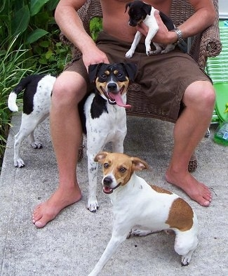 A shirtless man sitting on a brown wicker chair outside on a cement patio - A white with black and tan Mountain Feist puppy in his lap and two Mountain Feist dogs in front of him. A tricolor white with black and tan Mountain Feist is standing under the leg of the man and a tan and white dog is sitting in front of him.