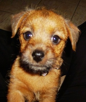 Close up head and upper body shot - A red Norfolk Terrier puppy is standing jumped up against the lap of a person and it is looking up.