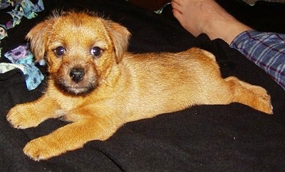 Side view - A red Norfolk Terrier puppy is laying on a black blanket and it is looking towards the screen. There is a persons foot next to its back paws.