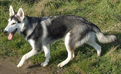 Side view - A black with white and grey Northern Inuit dog is trotting across grass with its front paw in the air and its tongue hanging out.