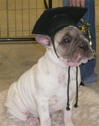Front side view - A tan with black Ori Pei puppy is sitting on a dog bed and it is wearing a black graduation cap looking up and to the right. The puppy has a lot of extra skin.
