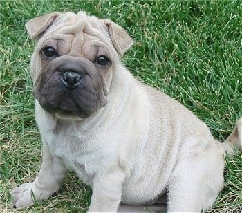 Front side view - A pudgy, wrinkly, tan with black Ori Pei puppy is sitting in grass looking forward.