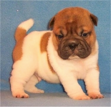 Side view - A pudgy, wrinkly, white with red Ori Pei puppy is standing on a carpet and behind it is a blue blanket. It is looking down and forward. The puppy's tail is up.
