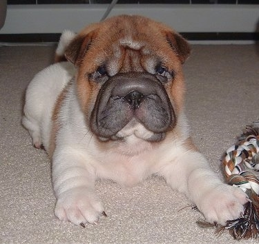 Front view - A thick-skinned, pudgy, wrinkly, extra skinned, white with red Ori Pei puppy is laying on a tan carpet with a rope toy next to its front paw. It is looking forward.
