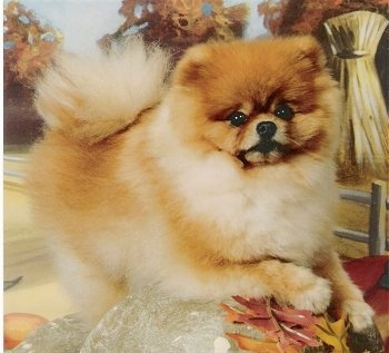 Bentley, the Pomeranian at about 2 years old, with his coat cut (not shaved, just trimmed up)
