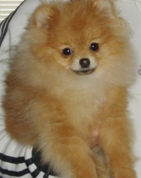 Close up - A fluffy, tan and red Pomeranian puppy is being held in the air under a persons arms.