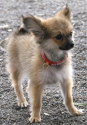 YubYub, the Paperanian (Papillon / Pom hybrid) at 7 months old and weighing 4.4 pounds (2kg.)