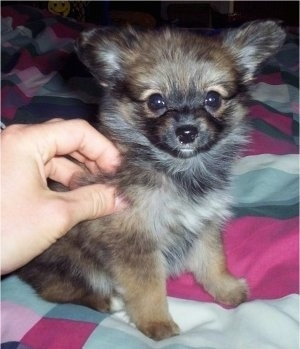 YubYub, the Paperanian (Papillon / Pom hybrid) as a young puppy