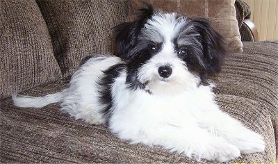 Mollie, the female Maltillon (also known as the Papitese) puppy at 5 months old and 4.5 pounds. The mother is an AKC Maltese and father is an AKC Papillon