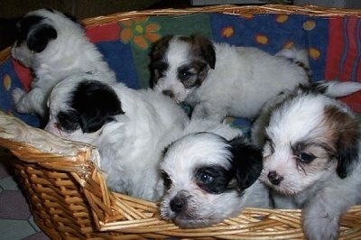 Close up - A litter of Papitese puppies are standing and sitting in a wicker basket.