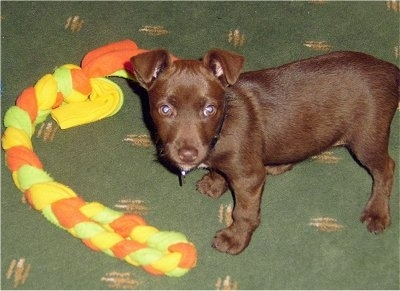 A chocolate Patterdale Terrier puppy is standing on a green carpet with an orange, green and yellow rope toy in front of it.