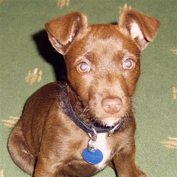 Close up - A chocolate with a tuft of white Patterdale Terrier puppy is sitting on a green carpet looking forward.