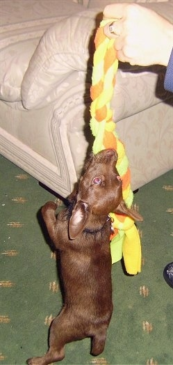 A chocolate Patterdale Terrier puppy is hanging onto a yellow, green and orange rope toy that a person is lifting up.