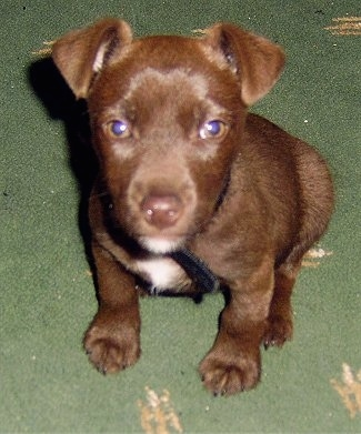 A chocolate Patterdale Terrier puppy is sitting on a green carpet looking up.