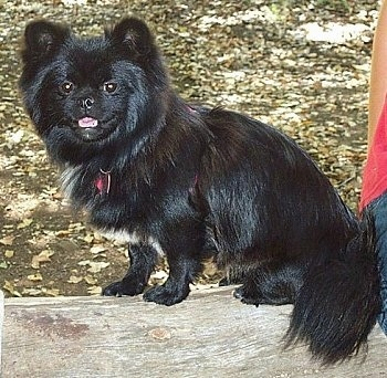 Side view - A shiny, long coated, black with white Peek-A-Pom dog is sitting across a log looking towards the camera with a person sitting next to it.