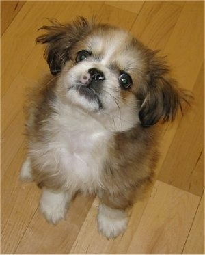 Xiao Bai the Peke-A-Pap puppy at about 6 weeks old