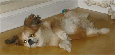 Side view - A medium-haired, red with white Peke-A-Pap puppy is laying on its back belly up on a hardwood floor and there is a ball toy behind it. It is looking forward. It has longer hair on its ears.